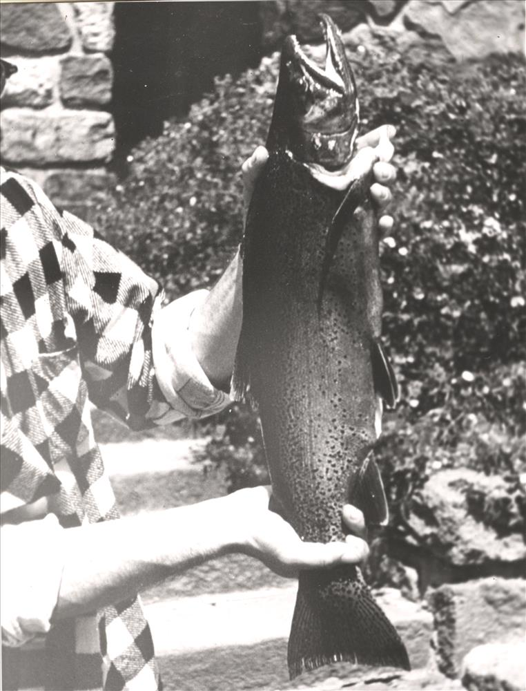 "23 3/4"" Rainbow Trout by Ranger John Bowdler Crater Lake C. photo by Warren Fairbanks, NPS Focus"