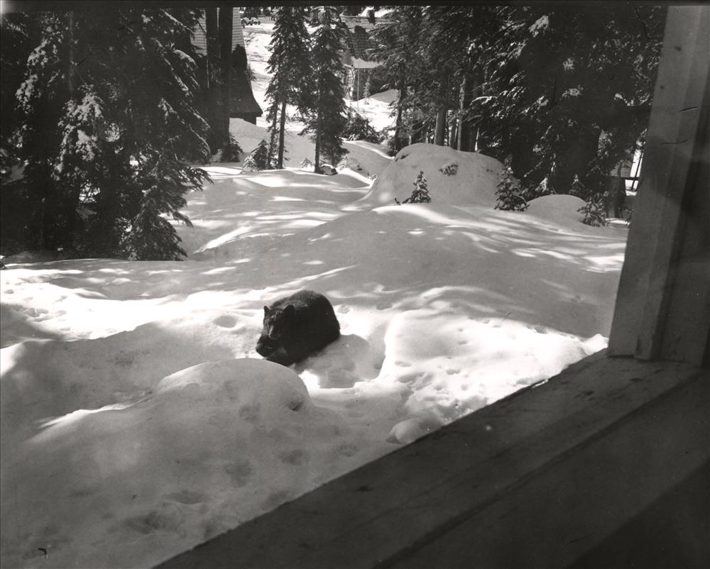Brown bear Crater Lake National Park Outside apartment building No. 34, Park Headquarters R. K. Rundell, Assistant Superintendent December 16, 1956