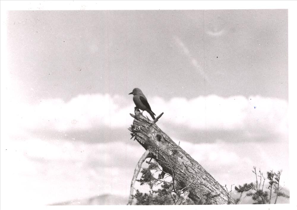 Clark's nutcracker in Crater Lake NP (date unknown)
