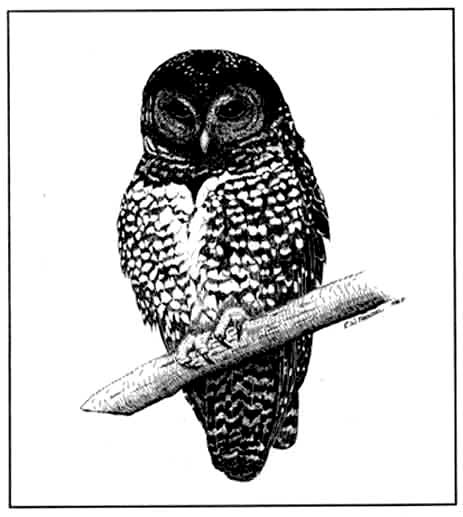 conservation-strategy-northern-spotted-owl-1990
