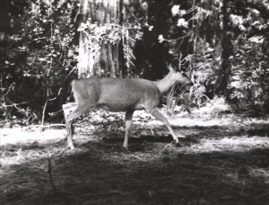 Deer, black-tail in Crater Lake NP, 1960 Jack Boucher