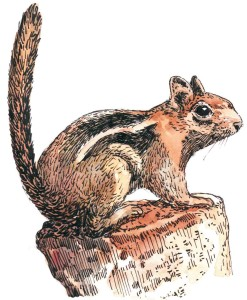 Golden-Mantled-Ground-Squirrel