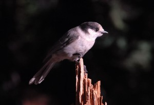 Gray Jay on tree stump in Crater Lake NP, 2009
