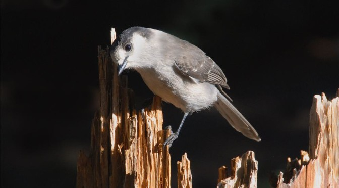 Gray Jay on tree stump in Crater Lake NP, 2009 Dave Harrison