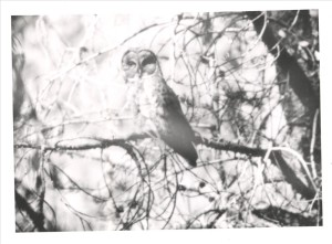 Great gray owl in Crater Lake NP (date unknown)