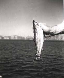 Kokanee in Crater Lake NP, 1954 Published Nature Notes 1955