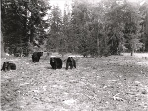 Mother bear and three cubs near Park Headquarters at winter garbage pit, Rundell photo
