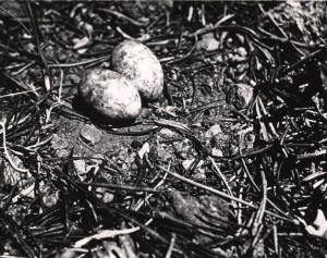 Nighthawk nest and eggs in Crater Lake NP (date unknown)