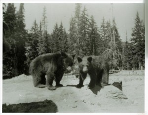 Bears - Old garbage dump and its denizens Park Headquarters (Steel Circle) Guy Hartell ca. 1938