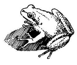 Pacific-Treefrog-on-its-shadow