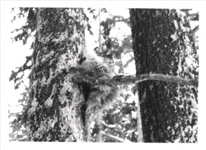 Porcupine in Crater Lake NP, 1969 R.B. Bruce 3