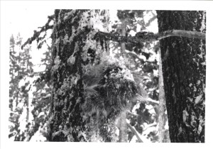 Porcupine in Crater Lake NP, 1969 R.G. Bruce 2