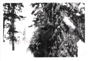 Porcupine in Crater Lake NP, 1969 R.G. Bruce