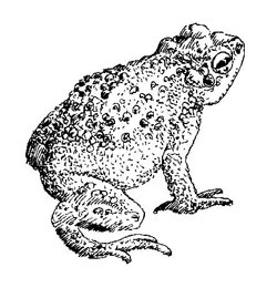 Red-spotted-Toad