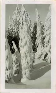 Snowladden Hemlock trees in Crater Lake NP (date unknown)
