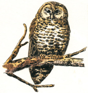 Spotted-Owl1