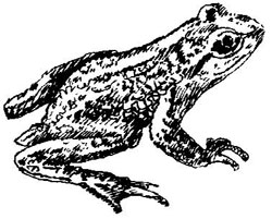 Tailed-Frog