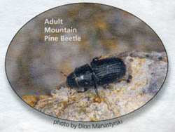adult-mountain-pine-beetle