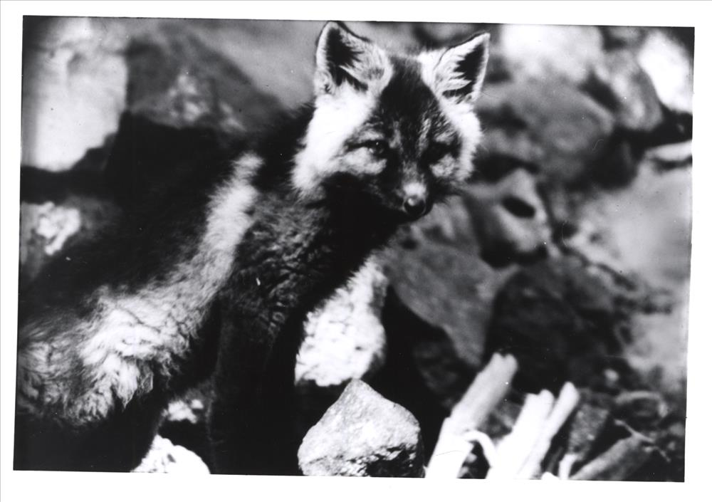 Cascade Red Fox in Crater Lake NP, circa 1954 Ralph Wells
