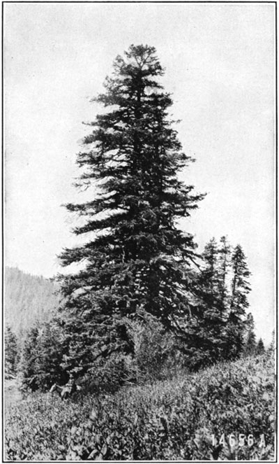 fig11-shasta-red-fir2