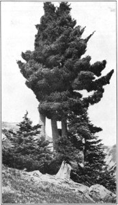 Mountain Hemlock at Crater Lake, 1917