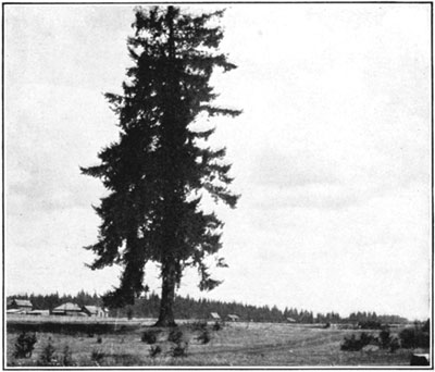 fig6-douglas-fir2