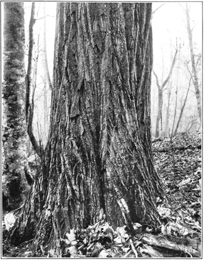 fig8-douglas-fir1