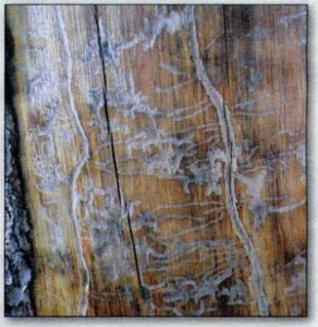 pine-beetle-bark-damage