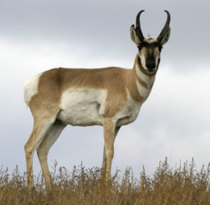 An American Antelope (Pronghorn), Thunder Basin National Grasslands, photo by Rob Mutch