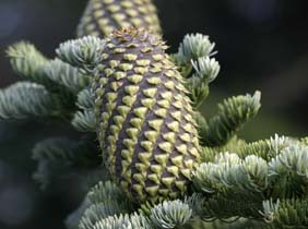 shasta-red-fir-cone