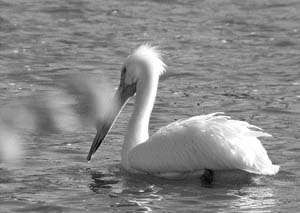 A white pelican, the symbol of Klamath Falls, takes a swim in a local lake.