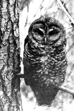 spotted-owls