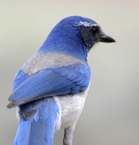 A Western Scrub-jay, Klamath Falls, Oregon, photo by Rob Mutch